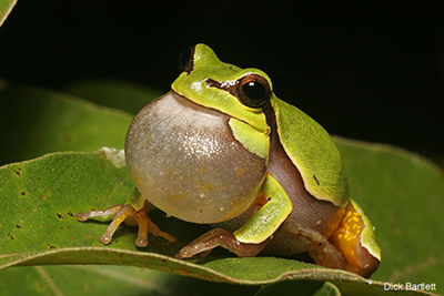 Treefrog: Dick Bartlett