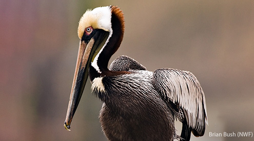 Brown Pelican, Brian Bush