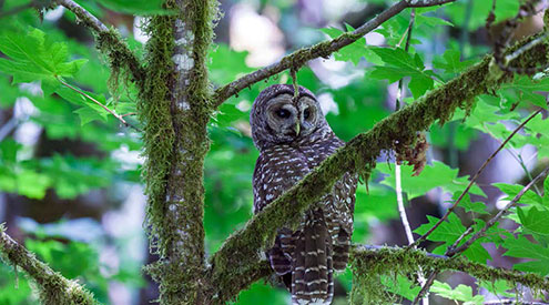 northern spotted owl in a tree
