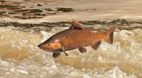Chinook Salmon jumping, photo credit: Greg Vandeleest