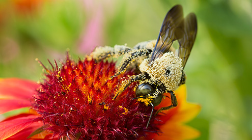 close-up of a carpenter bee on a flower