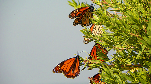 Monarch butterflies, Christine Bloor