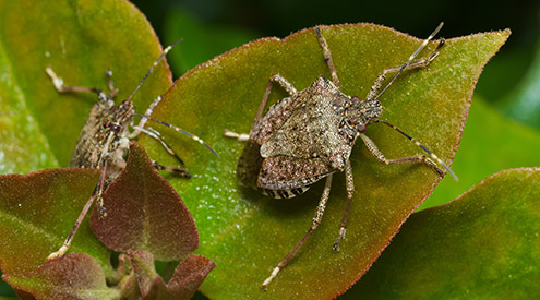 Brown Marmorated Stink Bug, Shutterstock