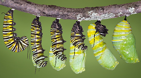 a composite image of a monarch caterpillar at different stages of its life cycle