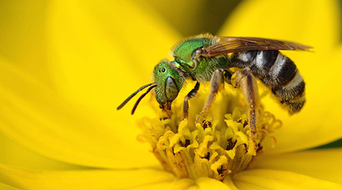 Sweat Bee, Shutterstock