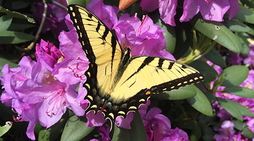 Photo of tiger swallowtail by Linda Matteo
