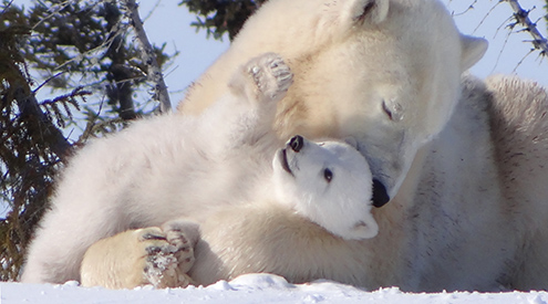 Polar Bears by Barb DeHart