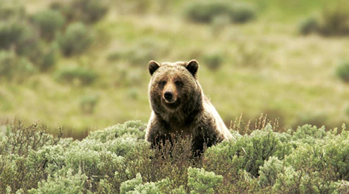 Grizzly Bear, Jim Peaco