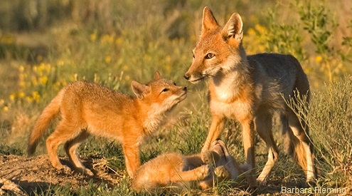 swift fox mom and kits