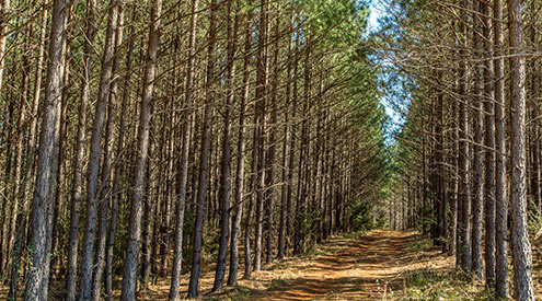 pine forest with dirt path