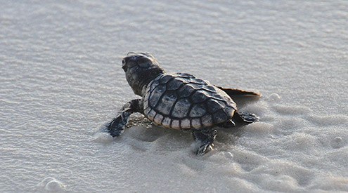 loggerhead sea turtle hatchling on sand