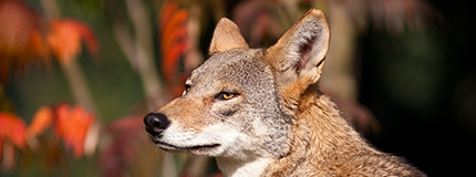 portrait of a red wolf