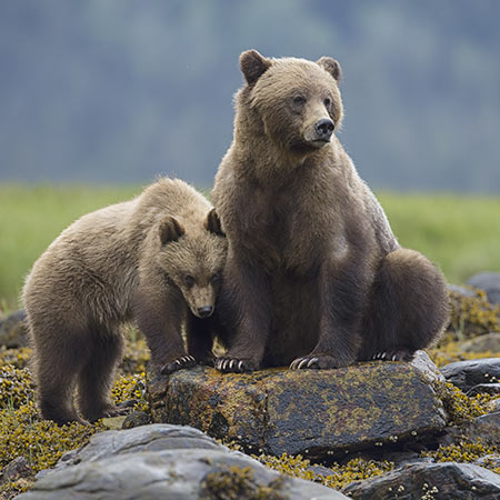 Two bears standing on a rock
