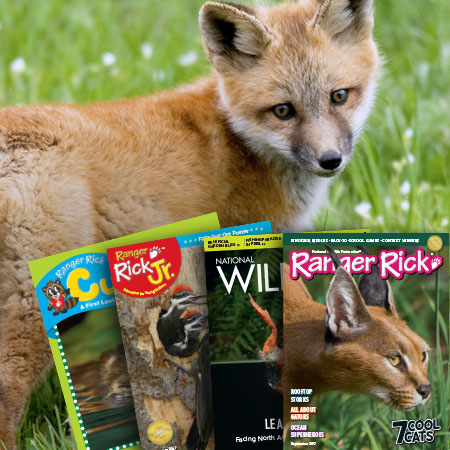 Fox in the grass behind Ranger Rick magazines