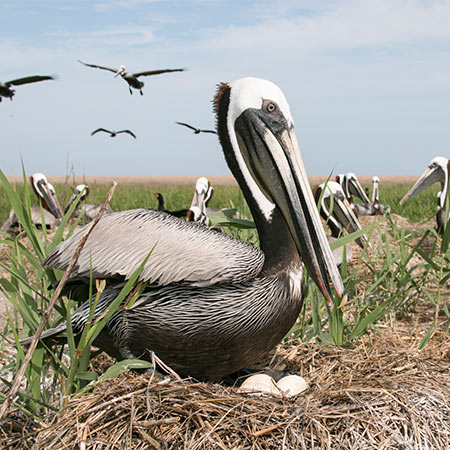 Pelican sitting on nest