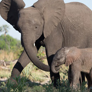 Help Save African Elephants