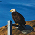 bald eagle and wind turbines