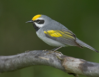 Golden Winged Warbler, U.S. Fish and Wildlife Service