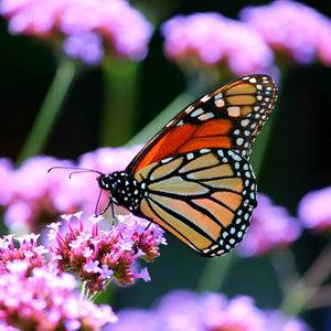 Good News for Eastern Monarch Butterfly Population