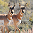 two pronghorn standing in grass