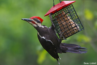 Pileated Woodpecker Suet: Beau Liddell