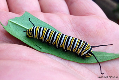 Monarch Caterpillar on Swamp Milkweed Leaf: David Mizejewski