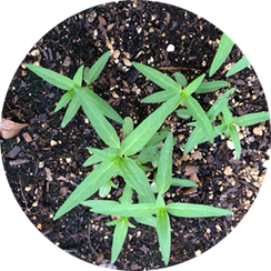 milkweed seedlings