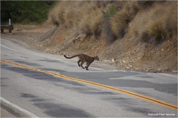 Mountain Lion Crossing the Road