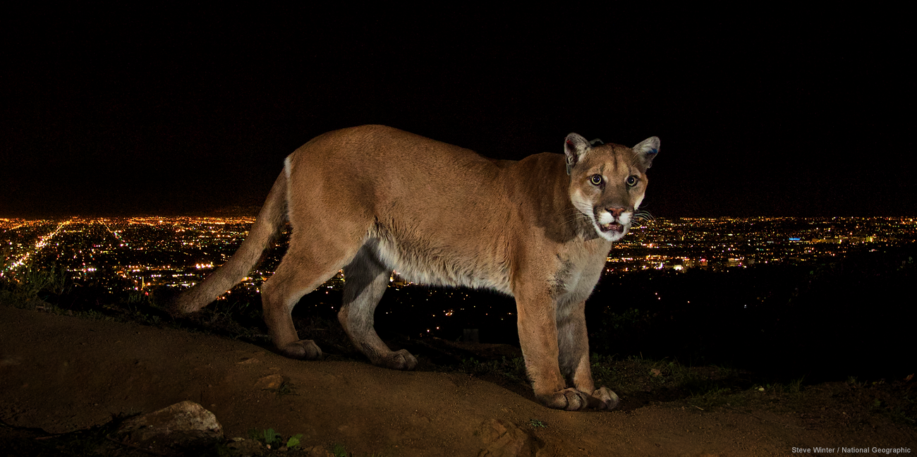 Cougar, Steve Winter/National Geographic