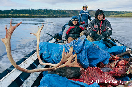 Gwich'in caribou harvest