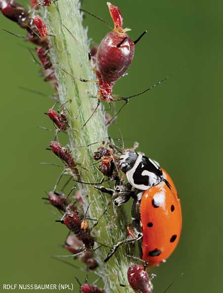 Convergent Ladybug adult eating Aphids