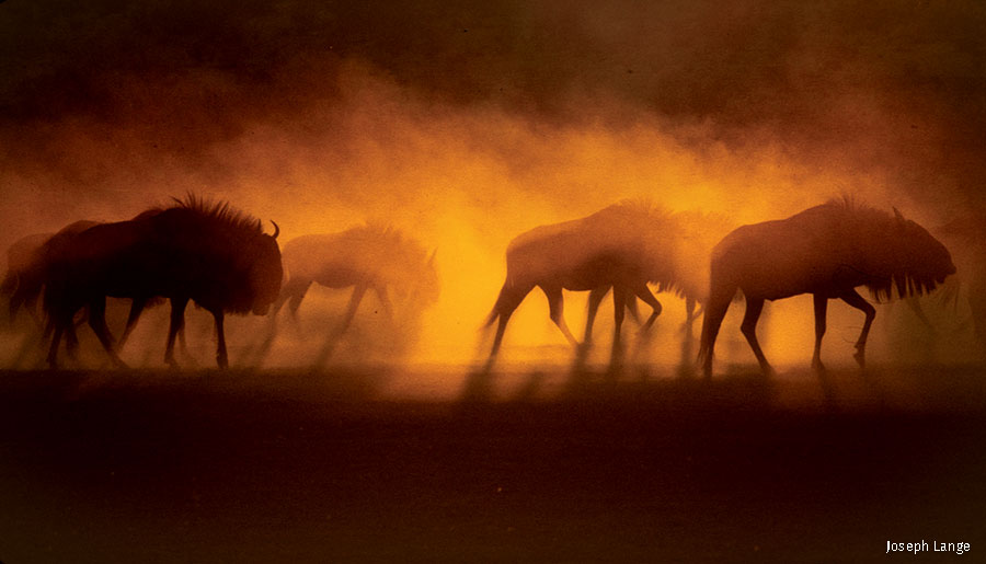 wildebeest march along the parched Auob Riverbed in South Africa's Kalahari Gemsbok National Park