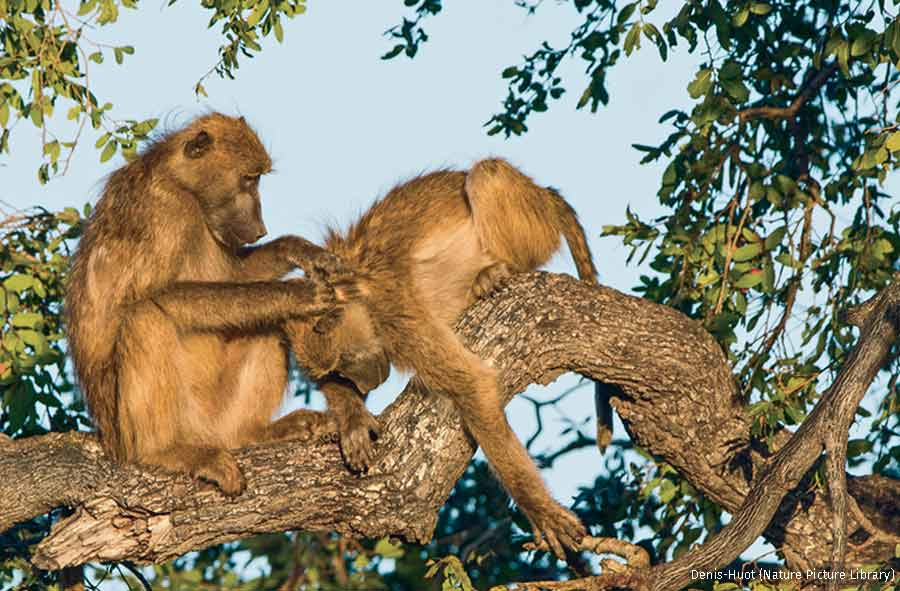 Chacma Baboons groom one another