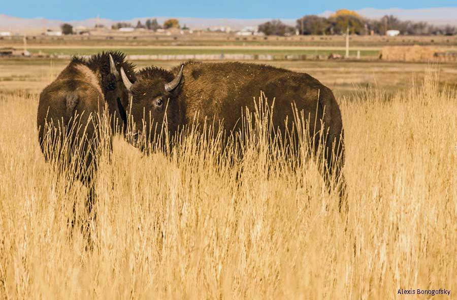 Wind River Bison