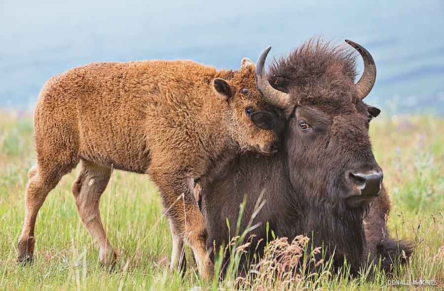 American Bison calf nuzzling mother, western Montana