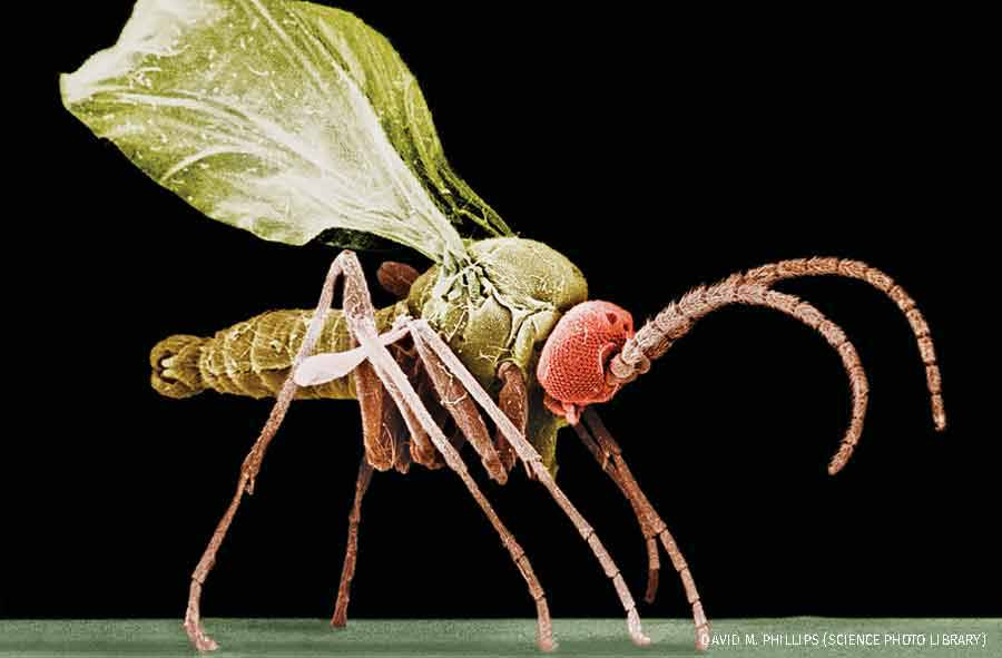 Scanning electron micrograph of a male fungus gnat