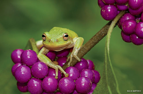 American Beauty Berry and Tree Frog, Alabama