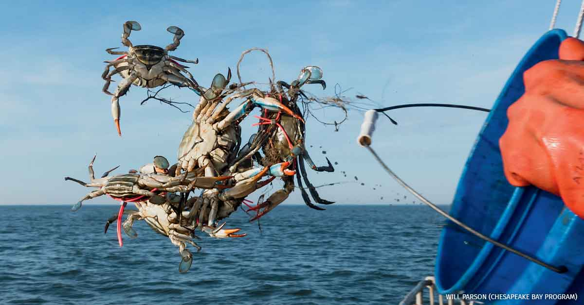 Marine Scientists of the Virginia Institute of Marine Science returns tagged blue crabs to the Chesapeake