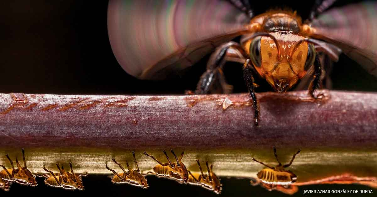 stingless bee flaps its wings to warn a parade of treehopper nymphs of potential danger