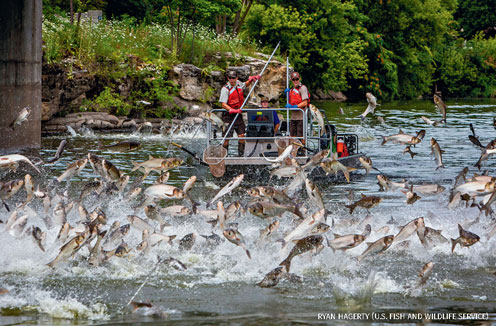 Silver carp jumping during electrofishing in Illinois' Fox River