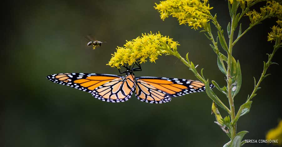 Backyard Habitats First Place: Monarch Butterfly & Yellowjacket