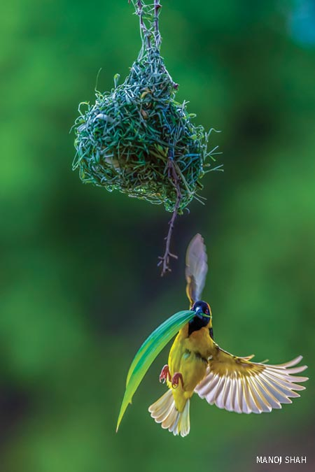 Birds First Place: Male Black Headed Weaver nest making
