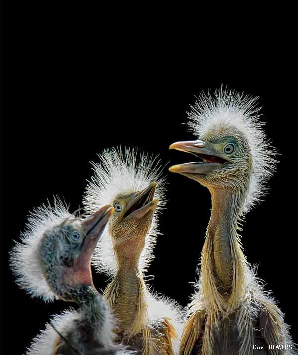 Birds Second Place: Three Baby Egrets