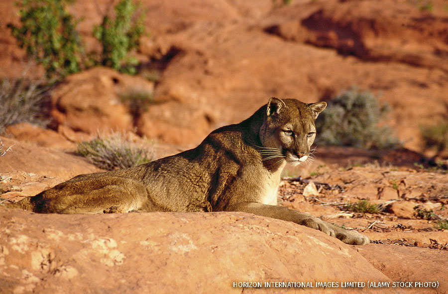 A mountain lion on red rocks in Utah