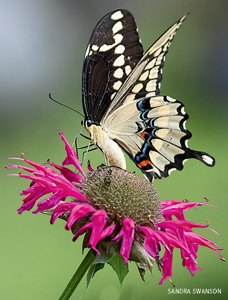 A swallowtail butterfly on coneflower