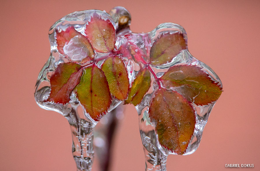 Ice on a rose leaf