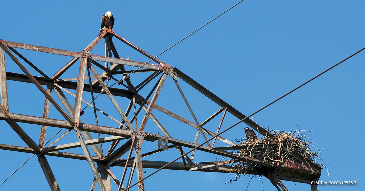 Eagles at their nest on an electric transmission tower in Somerset County, NJ.