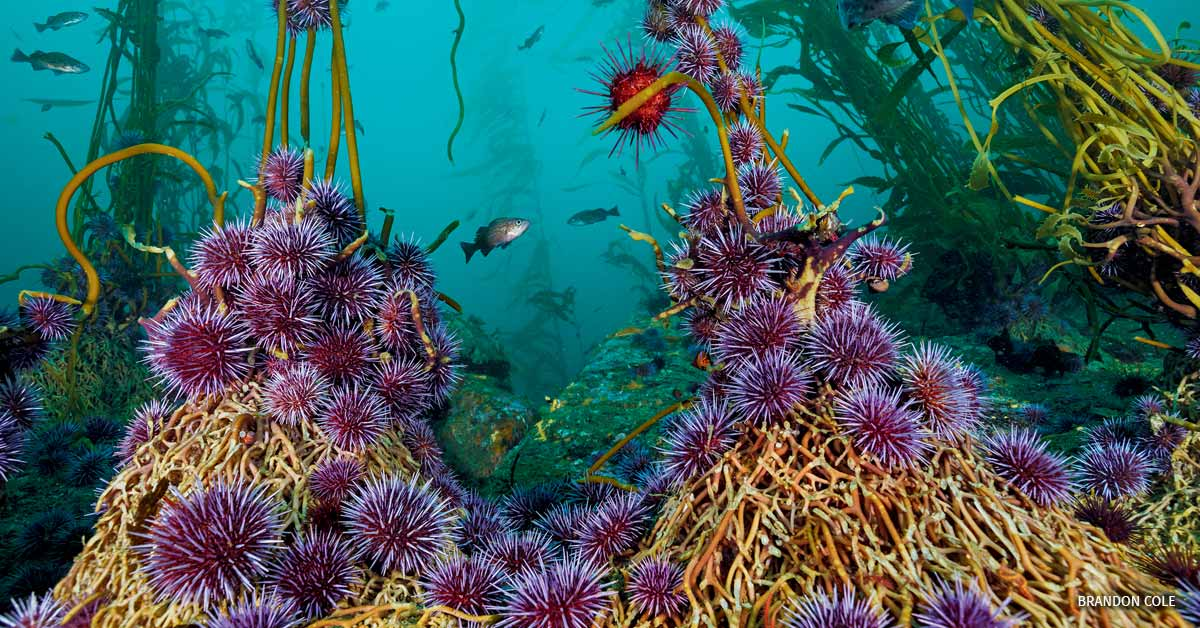 Purple sea urchins feeding on Giant Kelp.