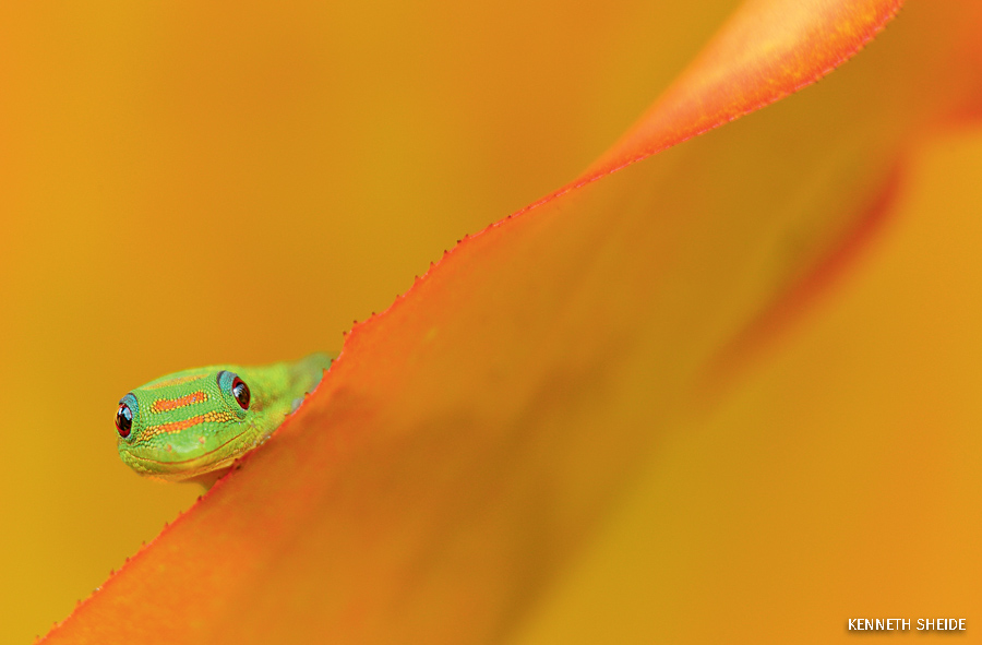 A gold dust day gecko at the Dole Plantation on Hawaii.