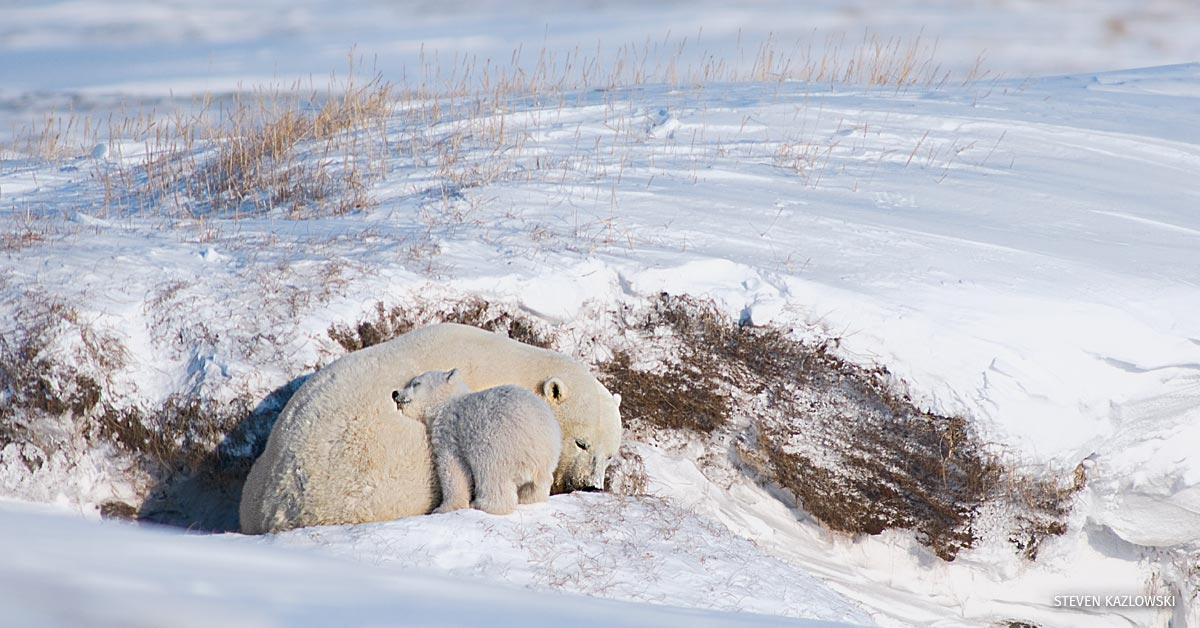 "Polar bear, Ursus maritimus, sow with a spring cub feeds on ""sugar snow"" or the ice crystals formed on top of the snow, essentially taking a drink of water, outside their den in wintertime, along the arctic coast of Alaska."